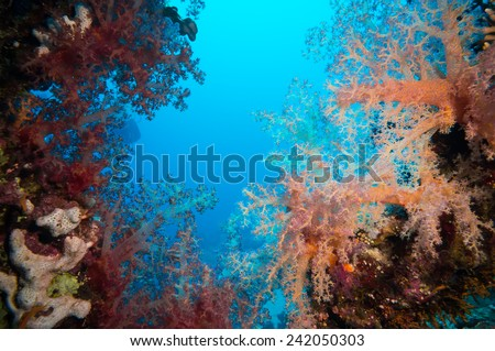 Vibrant pink soft coral (Dendronephthya hemprichi), buzzing with tropical Lyretail anthias (Pseudanthias squamipinnis). Straits of Tiran, Red Sea, Egypt. - stock photo