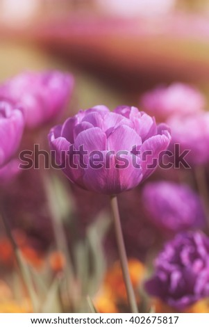 Vibrant purple tulips.   A field of purple tulips bloom in the spring, macro selective focus and toned effect - stock photo