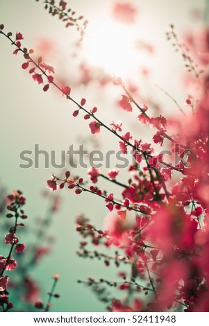Vibrant red asian sakura background with sunlight. Low aperture shot, selective soft focus. - stock photo