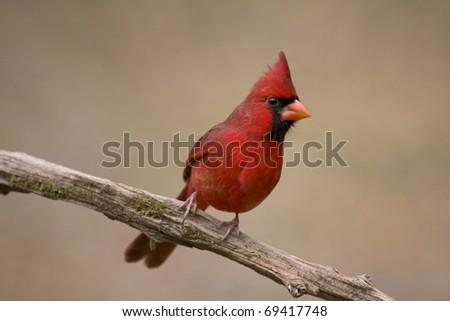 Vibrant red cardinal perched on a branch - stock photo