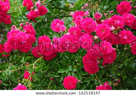 Vibrant red roses - stock photo