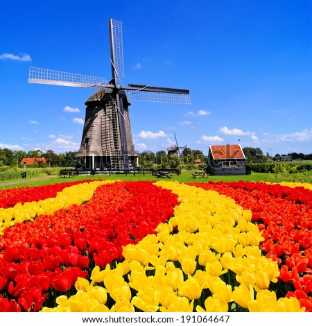 Vibrant tulips with windmill in the background, Netherlands   - stock photo