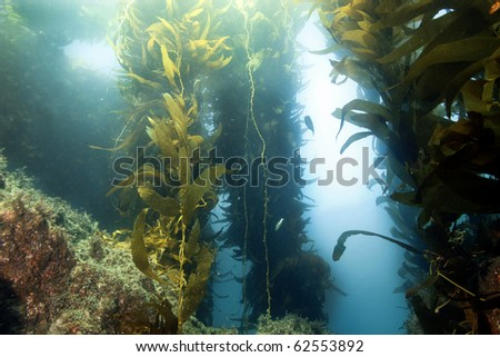 vibrant underwater giant kelp forest , anacapa , channel islands, california, ocean plants seaweed - stock photo