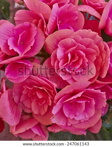 vibrant violet colored begonias closeup, natural background - stock photo