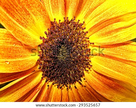 Vibrant yellow and orange macro of a sunflower. Close-up of blooming sunflower. Close up view of an orange flower. - stock photo