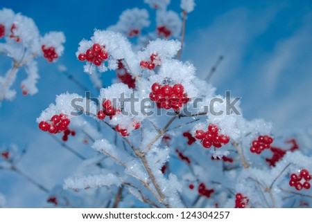 Viburnum berries covered with snow - stock photo