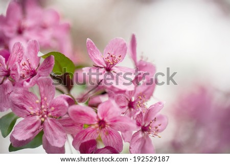 Viburnum flowers on shrub in spring in Illinois - stock photo