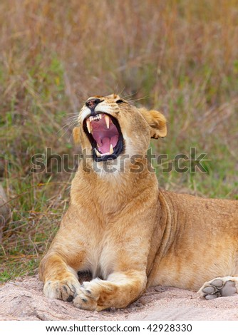 Vicious Lioness (panthera leo) lying in savannah in South Africa - stock photo