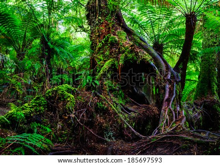 victoria australia tree root  rain forest fern - stock photo