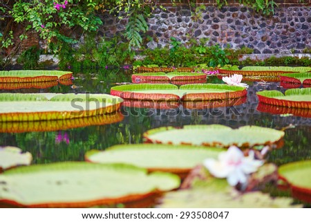 Victoria cruziana, giant water lily with flowers on Bali, Indonesia - stock photo