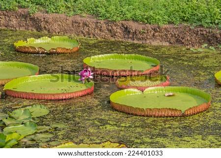 Victoria lotus leaf  - stock photo