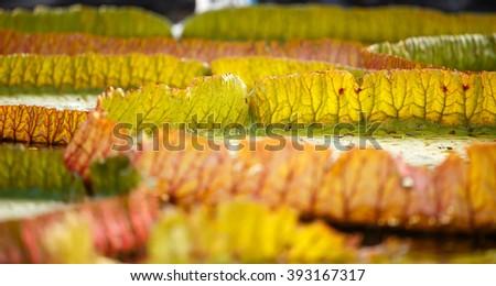 Victoria lotus leaf close up - stock photo