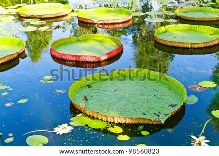 Victoria lotus leaf on water - stock photo