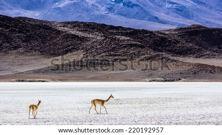 Vicunas in the desert - stock photo