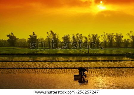 Vietnam women farmer growing rice on the paddy rice farmland in sunset. Hong delta, Hanoi, Vietnam - stock photo