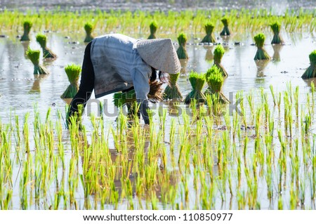 Vietnam women farmer growing rice on the paddy rice farmland. Mekong Delta, Chau Doc, An Giang, Vietnam - stock photo