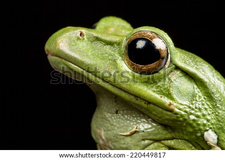 Vietnamese Blue (Gliding or Flying) Tree Frog (Polypedates dennysii) head in profile, macro against a black background - stock photo