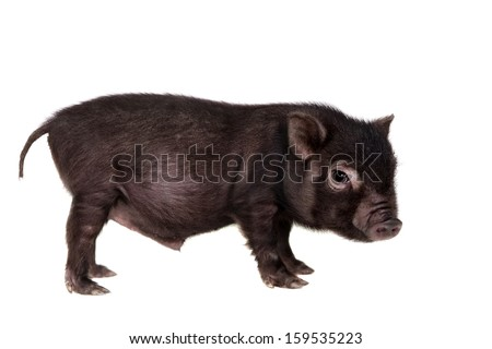 Vietnamese pig potbellied hog baby (4 weeks old) isolated on white - stock photo