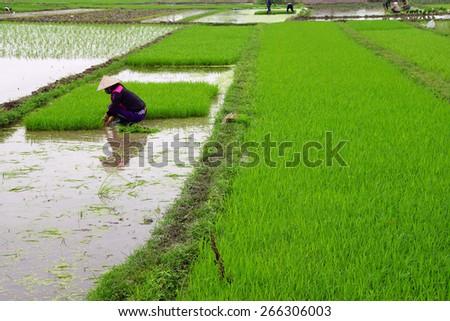 Vietnamese woman transplanting rice in flooded paddiesalong the Red River near Haiphong Vietnam - stock photo
