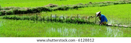 Vietnamese worker cultivating his rice paddy in the sun - stock photo
