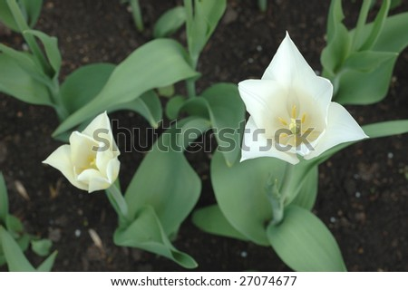 View at two white tulips from the top - stock photo