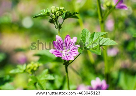 View close up of the wild flower of a Mallow with natural background. - stock photo