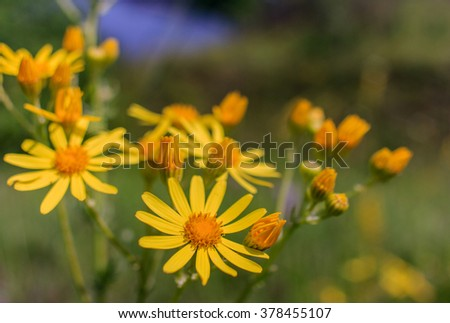 View close up of the wild flower of a yellow  daisy  with natural background. - stock photo