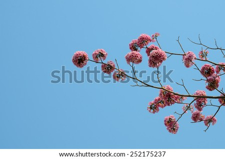 View from below Pink trumpet flower and blue sky,Thailand - stock photo
