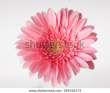 View from top on isolated pink gerber flower - stock photo