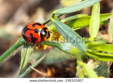 View macro beetles ladybug naturally - stock photo