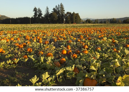 View of a commercial Oregon pumpkin patch at sunset. Shallow depth of field, focus is a foreground. - stock photo