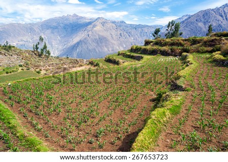 View of a field of corn in Colca Canyon in Peru - stock photo