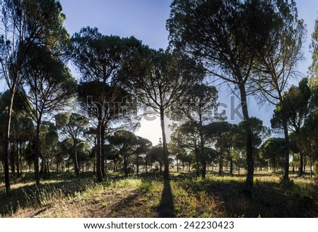 View of a great pine tree forest on the protected region of Sado, Portugal. - stock photo