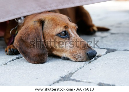 View of a nice little dachshund with head on pavement - stock photo