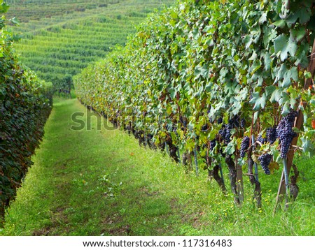 View of a vineyard in Langhe, Piedmont, Italy - stock photo