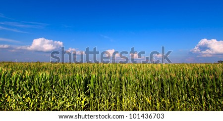 View of an Illinois cornfield on a beautiful sunny day - stock photo