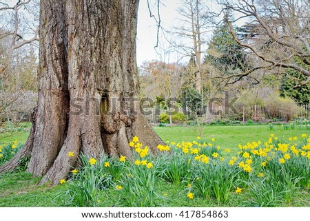 View of an Oak Tree Trunk and Daffodil Flowers in a Beautiful Garden - stock photo