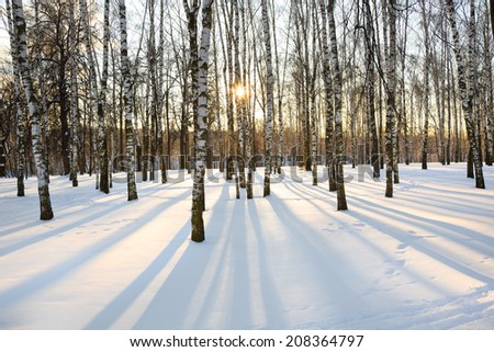 View of beautiful winter birch wood at sunset time  - stock photo