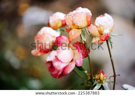 View of beauty garden rose under the snow - stock photo