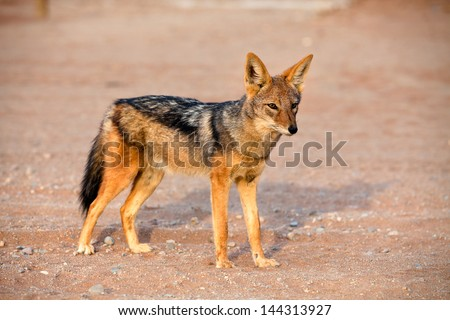 View of black-backed jackal in african desert - stock photo