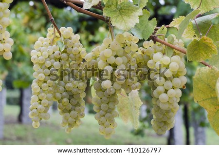 View of bunches of ripe white grapes still on the vine  - stock photo