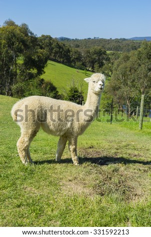 View of fluffy Huacaya alpaca with cuddly look in a farm overlooking a valley  - stock photo