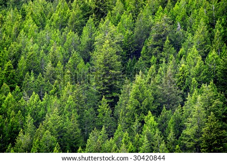 View of forest of green pine trees on mountainside - stock photo