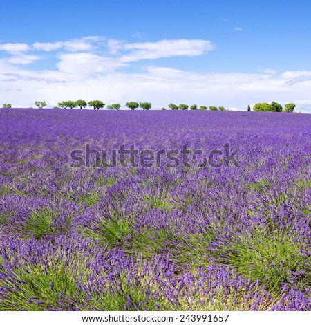 View of Lavender field with trees in Provence, France - stock photo