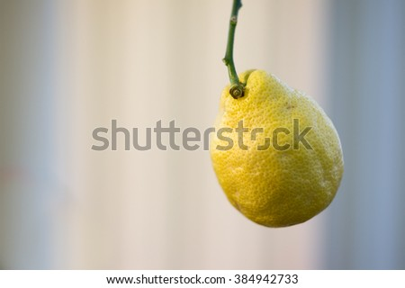View of lemon hanging on a lemon tree. Fresh lemon. Big lemon on light background. Isolated lemon. Growing lemon. Fresh lemon. Lemon growing on a branch. Yellow citrus fruit. Lonely lemon. - stock photo