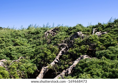 View of pine in the morning and blues sky - stock photo