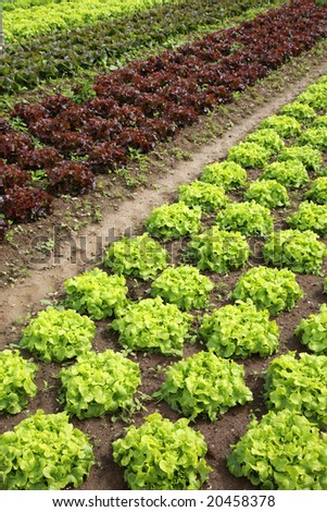 View of rows of green and red lettuces - stock photo