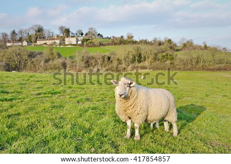 View of Sheep in a Green Farmland Field - stock photo