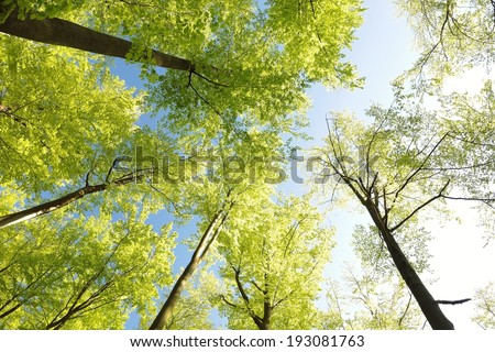 View of spring beech forest against the blue sky. - stock photo