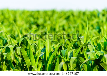 View of still unripe maize plants growing on the field - stock photo